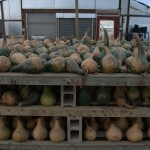 drying_gourds