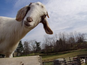 Goat Peeking At You